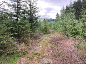 Forest track in Scottish woodland